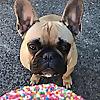 Porkypaws - Frenchie Emporium | The Best French Bulldog Blog