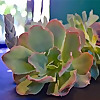 Blueleaf Plants