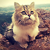 Milo the Munchkin Cat