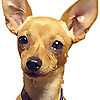 Little Dog Tips - Chihuahua Madness Archives
