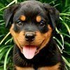 RottweilerGuide | Tips & Advice for Rottweiler Lovers