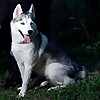Supernova Siberian Huskies