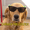 Carmen The Golden Retriever