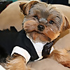 Agent the teacup Yorkie